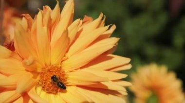 Bee on flower — Stock Video