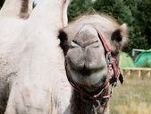 Camelin — Photo