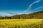 Campo di colza giallo stupro — Foto Stock