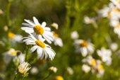 在草地上,在夏天雏菊的特写 — 图库照片