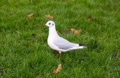 White pigeon on a green meadow — Stock Photo