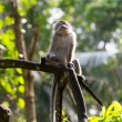 Постер, плакат: Watchful Monkey