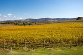 Yarra Valley Vines in Autumn — Stock Photo
