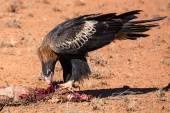 Australian Wedge-tail Eagle Eating a Kangaroo — Stock Photo