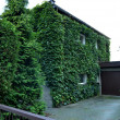 Whole home facade covered in green ivy — Stock Photo #54942933