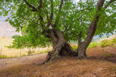 Tree with hollow — Stock Photo