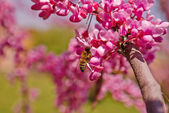 Bee collecting nectar from pink flowers. — Stock Photo