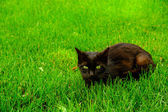 Black with green eyes cat on the green grass — Stock Photo