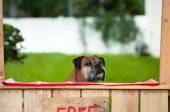 Boxer sitting in a kissing booth — Stock Photo