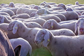 Sheeps in countryside grazing pacefully — Stock Photo