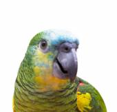 Parrot isolated — Stock Photo
