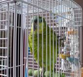 Caged parrot — Stock Photo