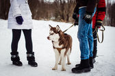Dog of breed of the husky 791. — Stockfoto