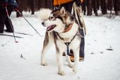 Dog of breed of the husky 793. — Stockfoto