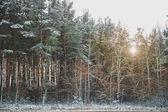 Winter fir forest 1480. — Stock Photo