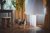 Cat and wedding dress 1719. — Stock Photo