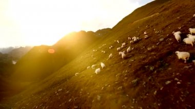Flock of sheep — Video Stock