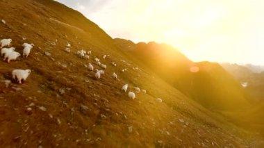 Herd of sheep — Stock Video