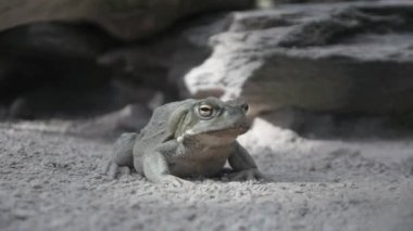 Frog on sand — Stock Video