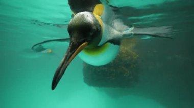 Penguin swimming. — Stock Video