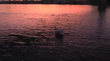 Swan on the river under the bridge — Stock Video
