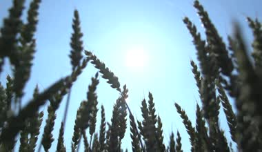 Agriculture wheat — Stock Video