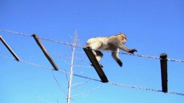 Monkey chimpanzee climbing on ladder — Stock Video