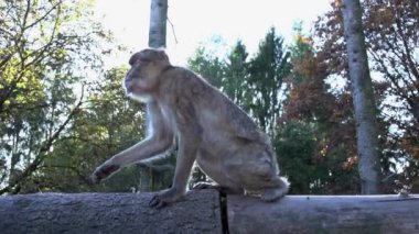 Wild monkey chimpanzee — Stock Video