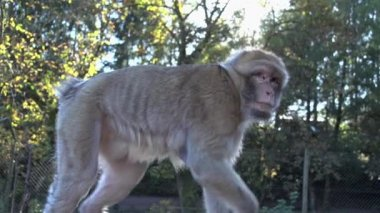 Monkey chimpanzee walking — Stock Video