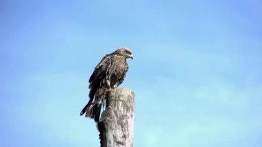 Hawk bird start flying — Stock Video