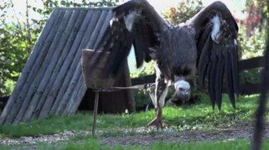 Wild eagle on leash — Stock Video