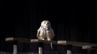 Owl bird start flying — Stock Video