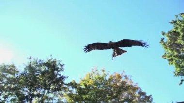 Hawk bird flying — Stock Video