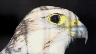 Wild white hawk — Stock Video