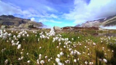 Cotton flower field — Vídeo stock