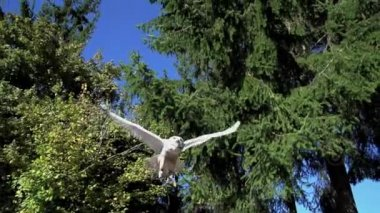 White owl flying — Vídeo de Stock