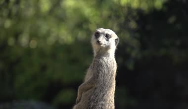 Meerkat in piedi — Video Stock