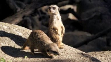 Meerkats standing and eating — Vídeo stock
