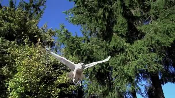 White owl flying — Vídeo de stock