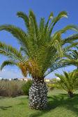 Sago Palm Latin name Cycas revoluta — Stock Photo