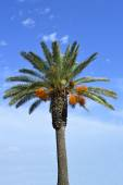 Date palm tree Latin name Phoenix dactylifera — Stock Photo