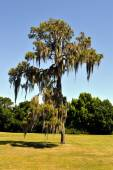 Swamp cypress with spanish moss growing on it — Foto Stock
