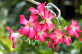 Adenium arabicum — Stock Photo