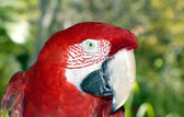Scarlet macaw Latin name Ara macao — Stock Photo