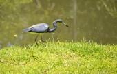 Tricoloured heron Latin name Egretta tricolor — Stock Photo