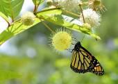 Monarch butterfly Latin name Danaus plexippus — Stock Photo