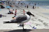 Gull-billed Tern — Stock Photo