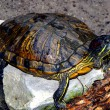 Red-eared Slider turtle Latin name Trachemys scripta elegans — Stock Photo #80869036