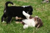 Two playing puppies in the grass — Stock Photo