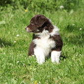Amazing puppy of australian shepherd sitting in the grass — Stock Photo